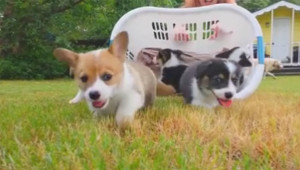 Watch A Basket Of Corgi Puppies Are Released On An Unsuspecting World