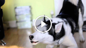 Naughty Siberian Husky Protests Going To Bed